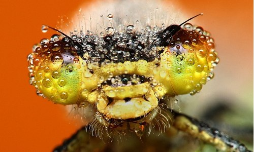 The stunning pictures of sleeping insects covered in early morning dew | Mail Online.jpg