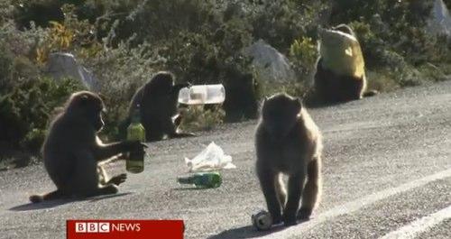 BBC News - The criminal baboons terrorising South Africa.jpg
