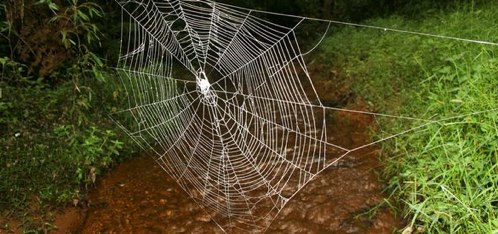 Photos_ World_s Biggest, Strongest Spider Webs Found.jpg