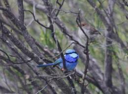 australianbird