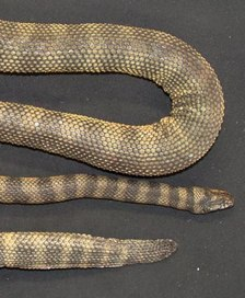 Spiny, Venomous New Sea Snake Discovered—_Something Special_.jpg