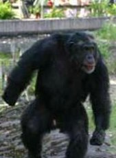 Zoo chimp makes elaborate plots to attack humans | Fox News.jpg