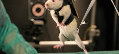 Video_ After Robot-Assisted Rehab and a Dose of Chemicals, Paralyzed Rats Walk Again | Popular Science.jpg