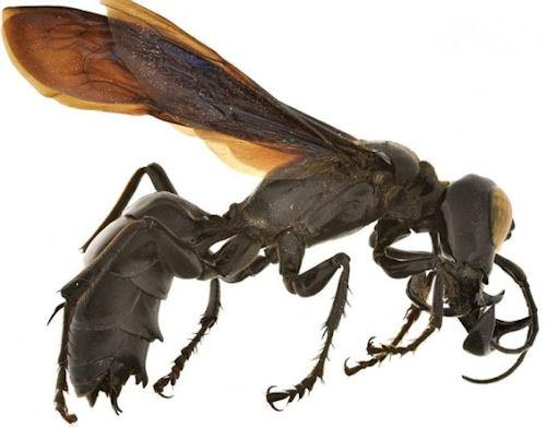 Warrior Wasp