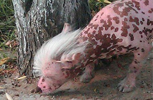 chinese pig dog.jpg