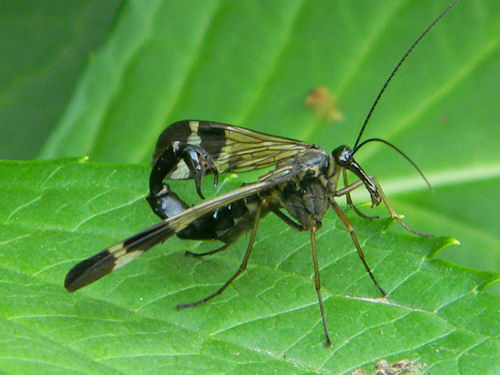 mecoptera