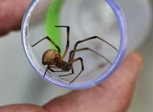 California Spider Infestation