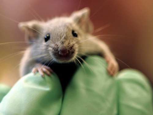 Cute Lab Mice Images & Pictures - Becuo