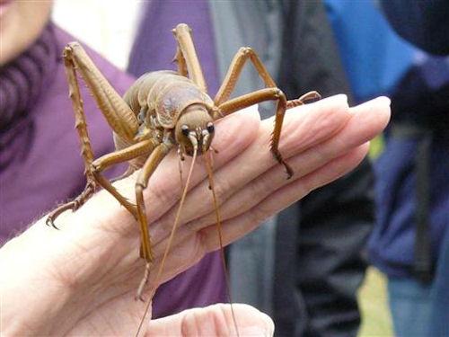 Weta Bug